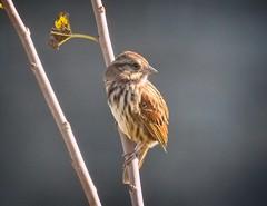 Song sparrow (Goggla) Tags: governorsisland songsparrow nyc new york governors island urban wildlife bird song sparrow fall migration goglog smgmg