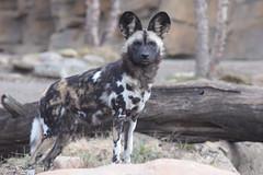 G08A1191.jpg (Mark Dumont) Tags: african dog painted zoo mark dumont mammal cincinnati