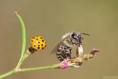 Shhh... I'm bee-zy! (Vie Lipowski) Tags: ladybug ladybird ladybeetle honeybee insect bug beetle bee weed wildflower wildlife nature macro
