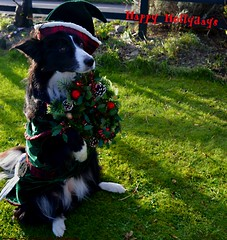 Happy Hollydays (ASHA THE BORDER COLLiE) Tags: funny christmas dog picture holly wreath ashathestarofcountydown connie kells county down photography