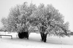 Arbres en hiver (JMVerco) Tags: arbre tree albero hiver winter inverno neige snow neve blanc white bianco bw noiretblanc vercorin suisse ngc