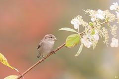 ''Fleur!'' moineau domestiqueHousse sparrow- (pascaleforest) Tags: oiseau bird animal passion nature nikon wild wildlife faune québec canada automne fleur
