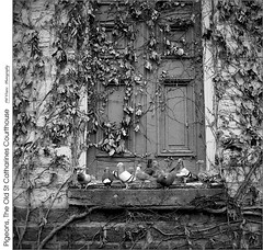 Pigeons, The Old St Catharines Courthouse (jwvraets) Tags: throwbackthursday monochrome blackandwhite bw film kodaktmax100 twinlensreflex minoltaautocordcds vintage stcatharines courthouse door vines pigeons negative scanned vuewscan opensource gimp