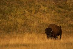 (Samuel Raison) Tags: bison buffalo bisons buffalos wildlife wild wildlifephotography naturephotography nature yellowstone yellowstonenationalpark yellowstonewildlife lamarvalley nikon nikon4600mmafsgvr nikond800