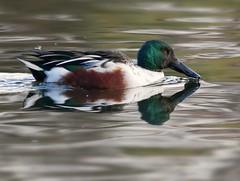 Shoveler (PhotoLoonie) Tags: shoveler duck wildlife nature waterbird