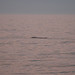 2nd right whale calf of the season