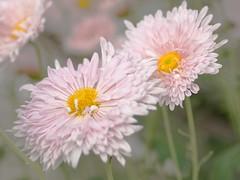 flownoid (gennaroriccio1) Tags: flowers fiori macrophotography macro macrofotografia garden botanicalgarden denver