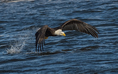 Bald Eagle fishing. (Estrada77) Tags: baldeagle eagle raptors distinguishedraptors birds birding birdsofprey ld14 mississippiriver wildlife winter outdoors jan2018 water flight fishing fish