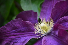 Clematis 'Warszawska Nike' (Seventh Heaven Photography **) Tags: garden flowers flora blooms clematis warszawska nike purple nikon d3200