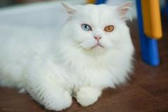 又霸氣又仙 #sel55f18z #cat #sonya7iii #catsofinstagram (Joey0124) Tags: sonya7iii sel55f18z cat catsofinstagram