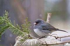 snowy junco up close (G_Anderson) Tags: missouri backyard birding winter snow birds urban junco