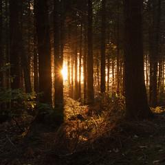 Bacton Wood (Phil Carpenter) Tags: bactonwood wood woodland trees light sunlight autumn norfolk