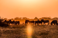 DSC00347 (philliphalper) Tags: namutoni etosha namibia zebras