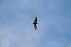 IMG_4553 (monika.carrie) Tags: monikacarrie wildlife scotland forvie shortearedowl seo