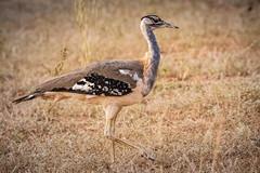 Denham's bustard - Neotis denhami (Manon van der Lit) Tags: afrika africa uganda oeganda murchison national park wildlife safari gamedrive denhamsbustard neotisdenhami big large denhamstrap