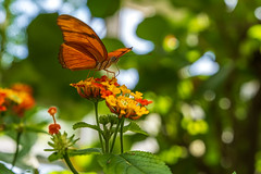 Insel Mainau/Bodensee 2018 - Schmetterlingshaus (karlheinz klingbeil) Tags: lake constance butterfly papillon germany mainau tier bodensee schmetterling insel animal lakeconstance konstanz deutschland de