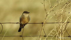 Say's Phoebe (Bob Gunderson) Tags: alamedacounty birds california eastbay empidonaxflycatchers flycatchers northerncalifornia pattersonpassroad saysphoebe sayornissaya