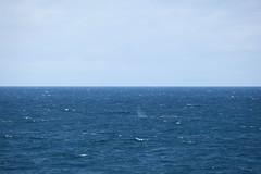 IMG_0204 (y.awanohara) Tags: humpbacks humpbackwhales whales whale southgeorgia scotiasea january2019 wildlife cetacean