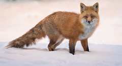 Foxy (Jami Bollschweiler Photography) Tags: fox snow photography wildlife wild free utah photographer nikon
