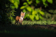 Big Scary World Out There... (DTT67) Tags: redfox fox foxkit kit maryland 14xtciii canon1dxmkii 1dxmkii 500mmii canon mammal animal nature wildlife