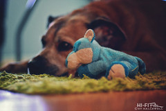 Favorite Toy (Hi-Fi Fotos) Tags: rocco rocky rock rocket taco dog toy squeaker mrbluefox plush favorite pet fun play nikkor 50mm 14 nikon d7200 dx hififotos hallewell