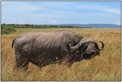 180913-0906 BIG FIVE #1 (28HR) Tags: travel africa kenya masai maasai mara serena safari mammal wildlife buffalo