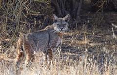 Scruffy bobcat (*EXPLORE*) (avilacats) Tags: elusive pinnaclesnationalpark autumnmorning scruffy bobcat