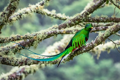 Costa Rica (bransch.photography) Tags: red stunning tourist exotic fauna nature birdwatching tree rare beauty vacation magnificent holiday animal costarica quetzal tail wild wildlife feathers travel forest bird outdoors aztec green america tourism tropical beautiful woods
