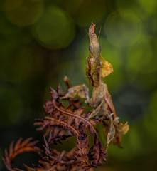 Spiral Staircase (Kathy Macpherson Baca) Tags: macro insect mantis mantid predator rare nature leaves stealth world planet earth