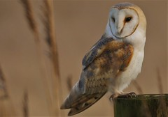 Barn Owl (Tyto Alba) Photographed in the wild (GrahamParryWildlife) Tags: barnowl owl talons pattern uk kent grahamparrywildlife kentwildlife canon 7d mkii sigma sport 150600 flight iso woodchurch moor lane cover crop pheasant sunlight