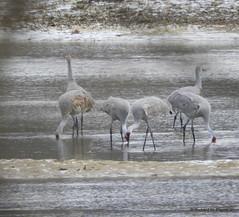 Sandhill Crane_N5420 (Henryr10) Tags: libertyin whitewatermemorialstatepark brookvillelakemudflats brookvillereservoir northtreatylineroad vogel ibon oiseau pasare fågel uccello tékklistar sandhillcrane sandhill crane antigonecanadensis antigone sacr usa
