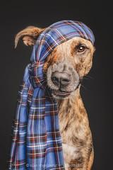 The tartan pirate (Wieselblitz) Tags: dog dogs dogphotography dogphotographer dogportrait doginthestudio scot scotish scottish scotland tartan tartandog pirate pet pets petphotography petportrait petphotographer mongrel mutt halfbreed