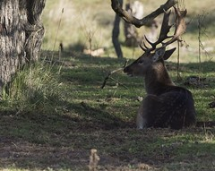 D81_13905 (charlesvanlangeveld) Tags: thenetherlands damadama amsterdamsewaterleidingduinen awd duinen fallowdeer animal stag grass mammal tree deer