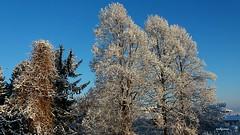il mattino dopo (archgionni) Tags: winter inverno cielo sky neve snow luce light azzurro blue rami branches foglie leaves alberi trees natura nature mattino morning