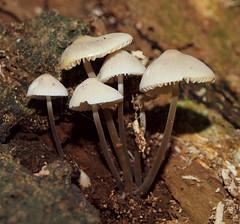 2018_10_0288 (petermit2) Tags: bonnetmushroom bonnet mycena mushroom fungus fungi pottericcarr potteric doncaster southyorkshire yorkshire yorkshirewildlifetrust wildlifetrust ywt