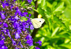 Sommer / Summertime (schreibtnix on 'n off) Tags: natur nature tiere insekten insects schmetterlinge butterflies kohlweisling cabbagewhite pierisbrassicae nahaufnahme closeup makro macro sommer summertime olympuse5 schreibtnix