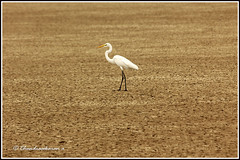 8371 - alone (chandrasekaran a 55 lakhs views Thanks to all.) Tags: egret birds nature india tamilnadu muthupet canon60d tamron200500mm