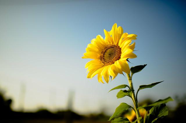 Обои цветок, подсолнух, желтые лепестки картинки на рабочий стол, раздел цветы - скачать