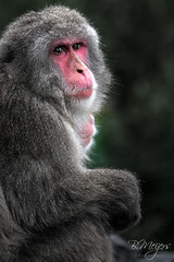 IMG_4603 (thanks for > 1 M. views) Tags: bertmeijers pairidaiza ape zoo canon bmeijers