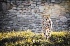 Away from the wall (Soren Wolf) Tags: cheetah cheetahs big cat nikon d7200 animal animals 300mm zoo opole warm sunset short depth field dof nature