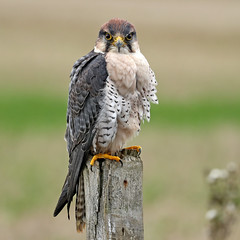 Lanner Falcon - Falco biarmicus (Roger Wasley) Tags: lanner falcon falcobiarmicus bird captive birdofprey specanimal