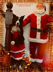 I can stand on my own two feet (ASHA THE BORDER COLLiE) Tags: funny dog christmas picture santa claus border collie ashathestarofcountydown connie kells county down photography