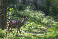 Chital - Axis axis (Jono Dashper Wildlife) Tags: chital axis axisaxis chitwan national park nepal animal wild wildlife nature natural canon 500mm 1dx 2018 jonodashper jonathondashper mammal deer axisdeer