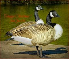 Suspicious minds (Explored) (Jan 130) Tags: jan130 christmas2018 canadageese geese goose suspicious birds wildlife closeup textured topaz brantacanadensis happychristmas happy2019 specanimal coth coth5