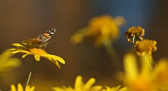 Borboleta, Painted Lady (Vanessa cardui) (carloscmdm) Tags: borboleta insetos natureza selvagem parque urbano jamor paintedladyvanessacardui