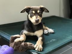 Echo (hopenfox) Tags: puppy dog australiankelpie