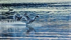 01 23 2017 Z16zzzzz Happy New Year! (srypstra) Tags: trumpeterswansatpatbay sunset birdsinflight sherirypstra happynewyear landing