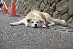 狗 (Chuan-Tai) Tags: 動物 狗 寵物 日本 嵐山 fujifilm xt20 xf35mmf14r 京都