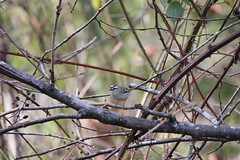 Golden-crowned Kinglet (avesjohn) Tags: goldencrownedkinglet