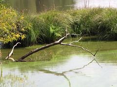 Toter Baum (elisabeth.mcghee) Tags: eschenbach oberpfalz upper palatinate vogelfreistätte groser rusweiher preservation wasser water lake see baum gräser tree
